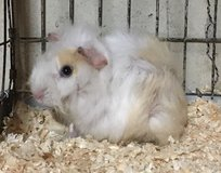 "8 Week Old White & Cream Abyssinian Male Baby Guinea Pig -- ""Duncan"" in Chicago, Illinois"
