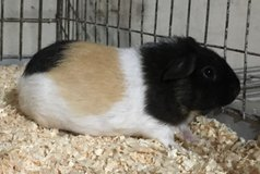 "10 Week Old Tricolor American Male Baby Guinea Pig -- ""Cookie"" in Chicago, Illinois"