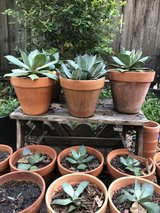 Potted AGAVE Succulents Plants beautiful! in Spring, Texas