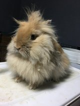 Rabbit needs a new home asap in Chicago, Illinois