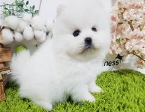 just sweet Pomeranian puppy hkft in Fort Lewis, Washington