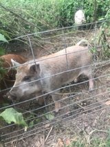 Wattle pigs in Cleveland, Texas