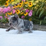 Affectionate French Bulldogs in Pearland, Texas