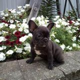 sweet and fun French Bulldog puppies in Pearland, Texas