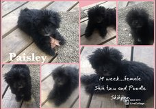 14 week teacup Toy Shihpoo puppy in The Woodlands, Texas