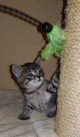 Maine coon mixed kitten (male) in Ramstein, Germany
