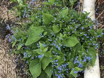 Brunnera in Bartlett, Illinois