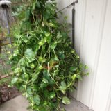 large ivy in Fort Polk, Louisiana