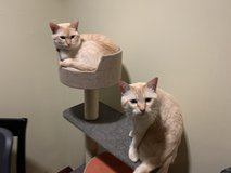 Red Flame point siamese cats (short haired) in Okinawa, Japan