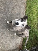 Cur/Pit mix in Fort Polk, Louisiana