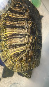 Red Ear Slider Turtle + Food and water conditioner in Hinesville, Georgia