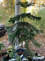 Christmas pine tree in Fort Campbell, Kentucky