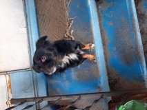 Looking for a forever home for a  Chihuahua pomeranian mix in Beaufort, South Carolina