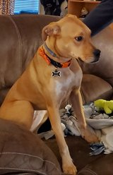 Rehoming 12-month sweet girl (spade. chipped) in Fort Campbell, Kentucky