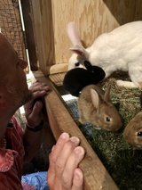 Flemish Giant/New Zealand Cross Rabbits in Chicago, Illinois