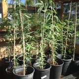 Mesquite trees 5 gal container - drought resistant shade trees-thornless in 29 Palms, California