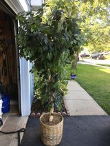 Silk Ficus Tree in Plainfield, Illinois