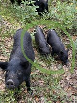 American Guinea Hogs - female - 3 months old in Conroe, Texas