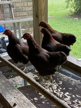 Partridge Orpington Bantam Hens in Beaufort, South Carolina