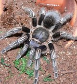 tarantulas for rehome/trade in St. Charles, Illinois