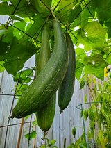 Luffa - loofah - loofa seeds in Spring, Texas