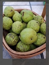 Black walnuts in Fort Campbell, Kentucky
