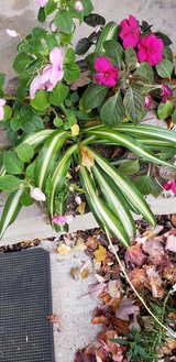 Medium Varigated Spider Plants - Pot Not Included in St. Charles, Illinois