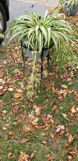 Very Large Varigated Spider Plants - Pots Not Included in Chicago, Illinois