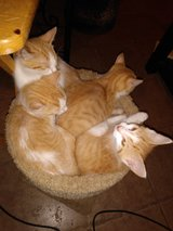 Yellow tabby with white kittens to good home. in Cherry Point, North Carolina