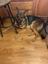 German Shepherd 2yo Male in Fort Riley, Kansas