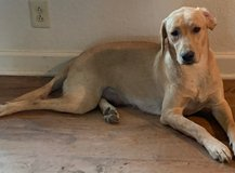 Labrador Retriever 2yo Female in Fort Riley, Kansas