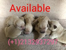 Golden retriever puppies in Fort Meade, Maryland
