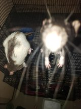 PET male rats in 29 Palms, California