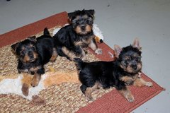 Male and female Yorkie puppies(Email directly to:jamesglene@yahoo.com in Wiesbaden, GE