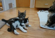 black tabby classic and white girl  Maine coon kitten txs (503) 755-6983 in Hinesville, Georgia