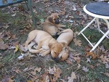 Free coon hounds in Fort Leonard Wood, Missouri