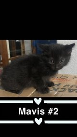 1 Loveable 8 week old kitten available in Alamogordo, New Mexico
