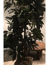 Decorative Silk Tree in Planter -  6ft + in Batavia, Illinois