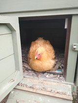Broody Pekin bantam hen (very friendly) in Lakenheath, UK