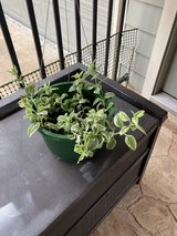 VARIEGATED LIVINGSTONE TRAILING DAISY HANGING BASKET in Houston, Texas