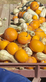 PUMPKINS and CUSHAW squash in Alamogordo, New Mexico