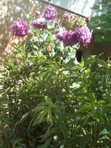 different PERENNIALS--grounded in Ramstein, Germany