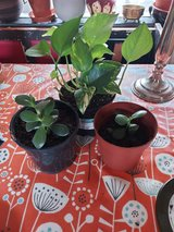 bundle of 3 plants. devils ivy and jade in Lakenheath, UK