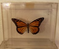 REDUCED Butterfly Monarch mounted in 29 Palms, California