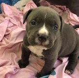 Rehoming our puppies pitbull in Birmingham, Alabama
