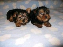 Cute Yorkie puppies for rehoming at low rehoming fee in Birmingham, Alabama