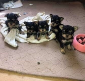 Adorable little Yorkie puppies for rehoming in Schofield Barracks, Hawaii
