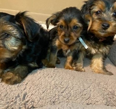 Cute Yorkie puppies for rehoming at low rehoming fee in Schofield Barracks, Hawaii