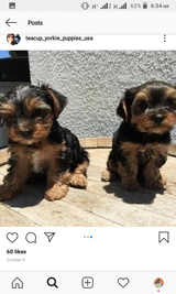 Yorkie puppies for rehoming in Schofield Barracks, Hawaii