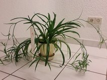 Spider plant in Ramstein, Germany